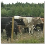 Electric Cattle Fencing.
