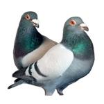 Pigeon Keeping Supplies