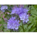 Phacelia. 1/4 Acre Pack.