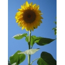 Sunflower. 1/2 acre pack.
