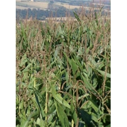 Game Maize - All Season Irish Blend. 1/2 acre pack.